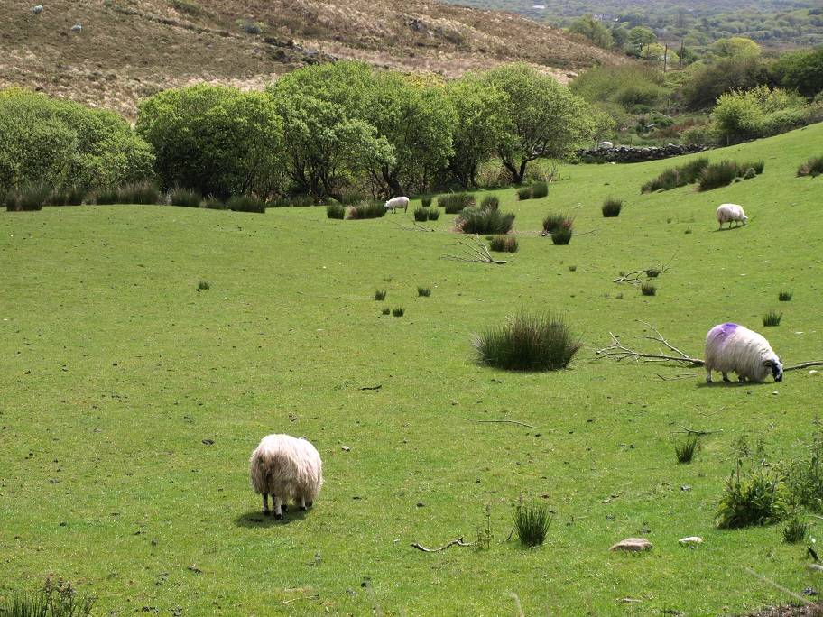 Ring of Kerry, moutons